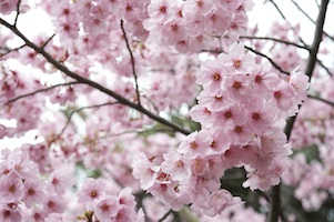 Cherry Blossom Time Reversal Facial